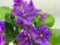 Flowerland Via Lactea (С. Сединина)