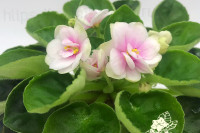 Beca's Green Touch (C. Beca)