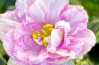 Мраморная Роза (С. Фарбитник)