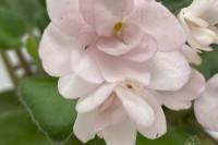 Taita Safina (Humako)