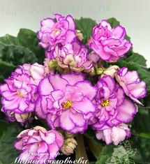 АВ-Розовые Розы