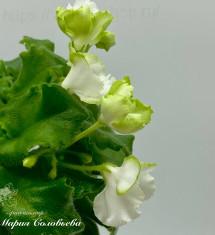 Celtic Rose White (Sorano)
