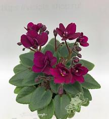 Precious Red (Pittman)
