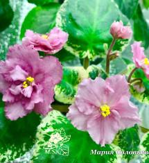 НК-Чайная Роза
