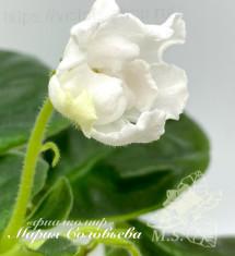 РМ-Белый Тюльпан (Скорнякова/Дорофеев)