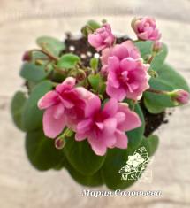 Chanta-Iana (Розовый Дым)