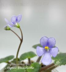 Saintpaulia shumensis /природный вид