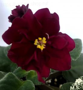 АВ-Благородная Роза