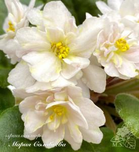 Jolly Moonflower (Pittman)