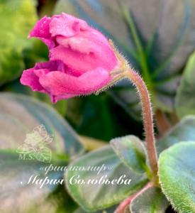 Красный Тюльпан (Сысорова)