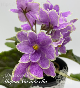 KZ-Царёв Цветок