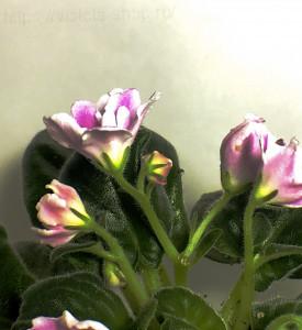 РМ-Волшебный Тюльпан