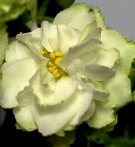 Spring Rose (LLG/P.Sorano)