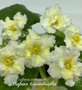 Sunkissed Rose (LLG/D.Herringshaw)